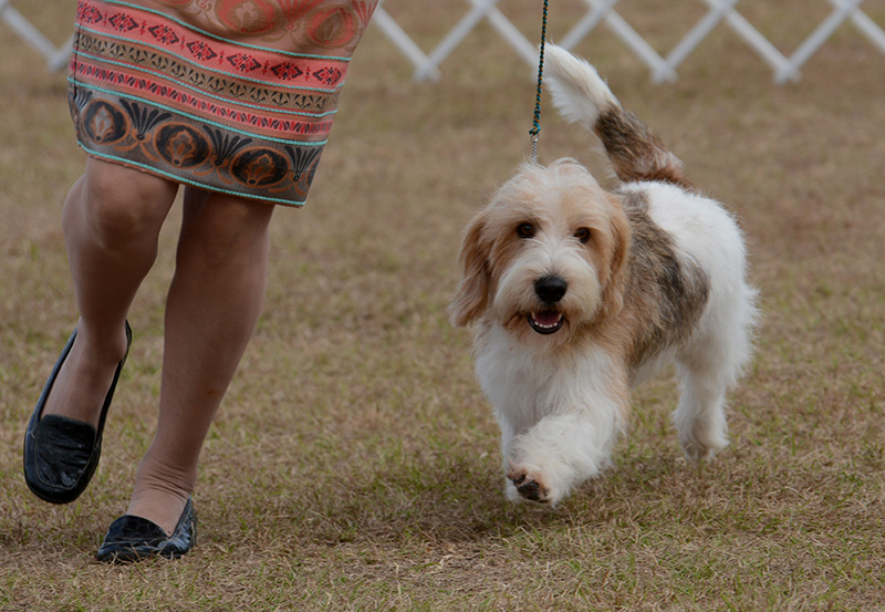 pbgv in the show ring