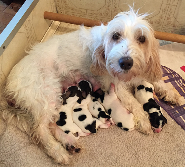 new born pbgv pups